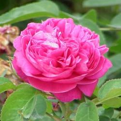 Hydrolat de rose de Damas