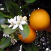 Hydrolat de fleurs d'oranger (néroli)